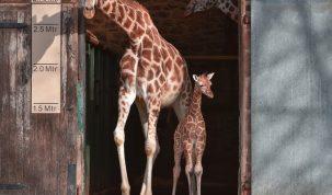 Nașterea lui Narus, puiul de girafă Rothschild - Tot Ceea Ce Este